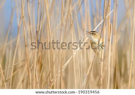 A Sedge Warbler (Acrocephalus schoenobaenus) singing in the reed.  - stock photo