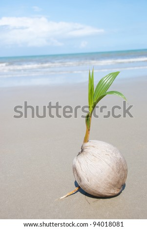 A seed of a palm tree ( coconut ) growing on beautiful beach. There are some roots visible as well as the ocean and  lots of copyspace too. - stock photo