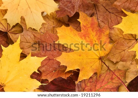 A selection of brown London Plane Autumn leaves