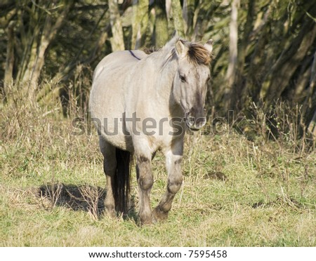 A semi-wild konik horse strawling - stock photo