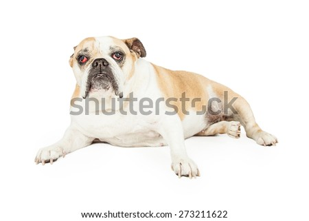 A senior Bulldog with eye cataracts laying while looking forward.