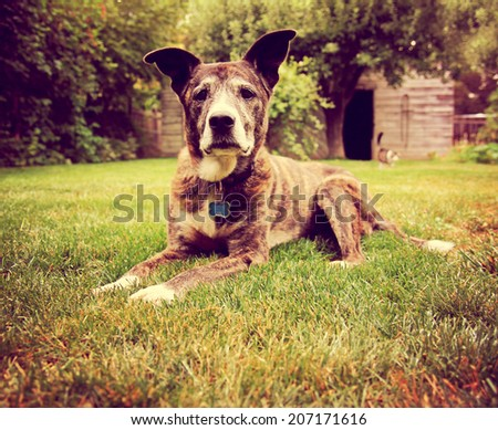 a senior dog laying in the grass toned with a retro vintage instagram filter  - stock photo