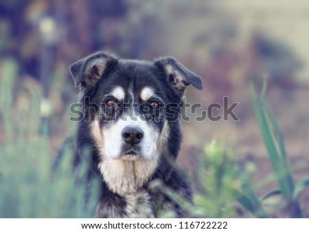a senior dog looking at the camera - stock photo