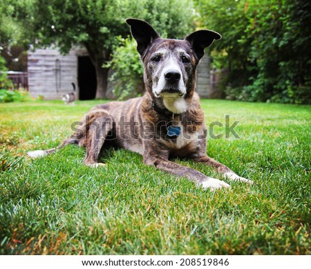 a senior pit bull laying in the grass of a green lawn in a backyard  - stock photo