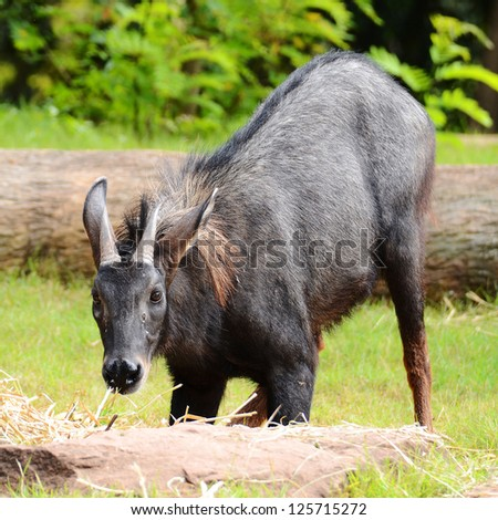 A serow, Species of goat-antelope native to mountain forests in Thailand. - stock photo
