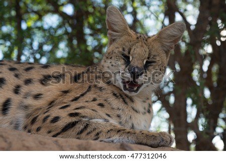 A serval squinting it's eyes closed