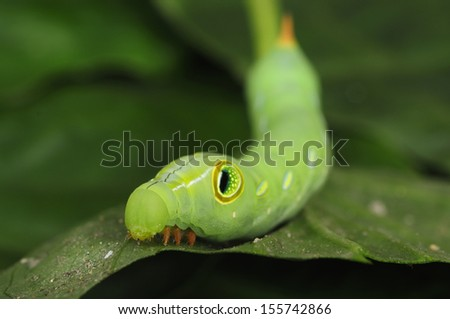 A shallow depth-of-field head image of caterpillar or green worm on a leaf