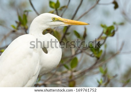 A sharp head and neck profile of a Great White Egret (Egretta alba) - stock photo