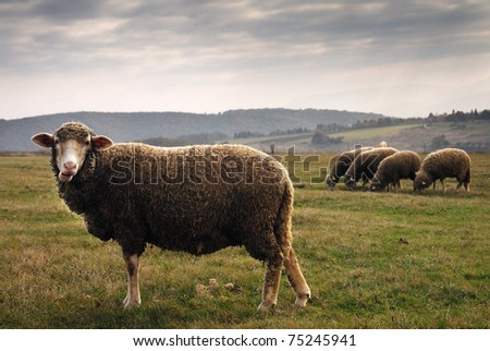 A sheep from the rest - stock photo