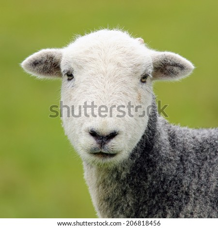 A Sheep head portrait - stock photo