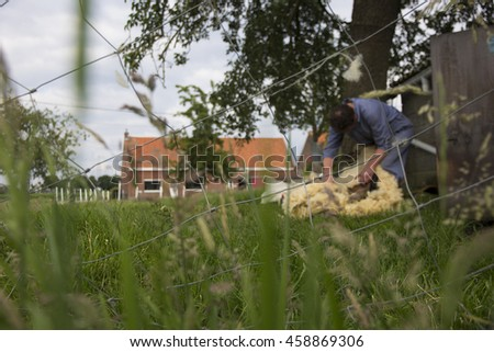 A sheep herder shaving a sheep in a meadow with a fence on the foreground and a tree and house on the background. ATTENTION: the image is NOT SHARP overall, and should serve as a background image. - stock photo