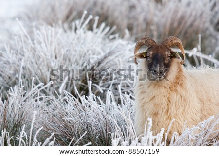 A sheep in a white field - stock photo
