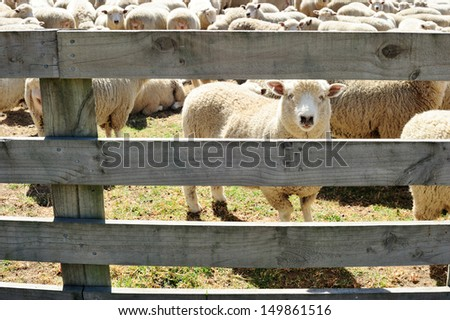 A sheep looking through the fence - stock photo
