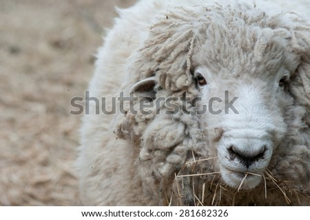 A sheep looks up while eating hay on a New Hampshire farm.