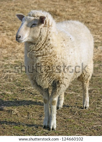 A sheep standing in a field. - stock photo