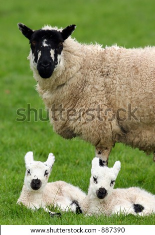 A sheep standing in a field with her new born twin lambs  lying down next to her. - stock photo