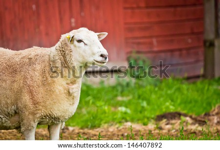 A sheep standing infront of a red barn on a farm in Dalarna, Sweden - stock photo