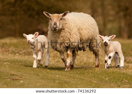A sheep with her two lambs walking across a grassy field - stock photo