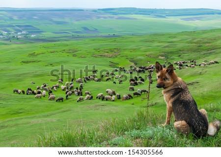 sheepdog guarding a flock of sheep - stock photo