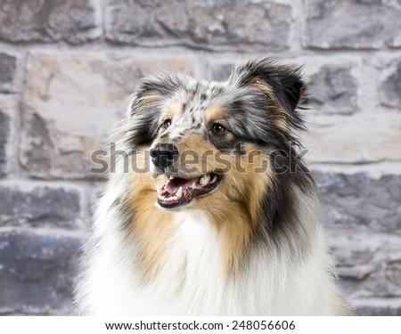 A sheltie portrait. Image taken in a studio. - stock photo
