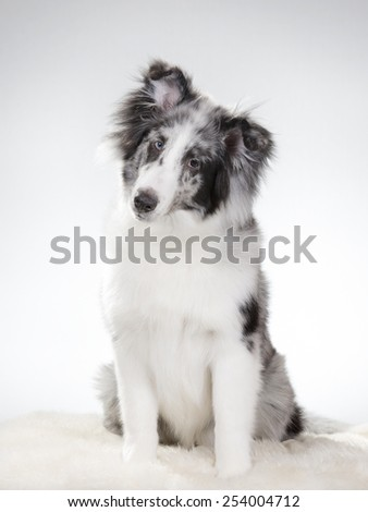 A sheltie portrait. Image taken in a studio - stock photo