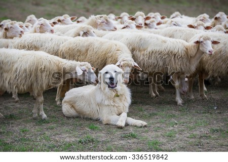 A shepherd dog in a tenderness moment with the sheep he guards. Boss, praising, gratitude, obedience, love, friendship, leadership, followers concepts. - stock photo
