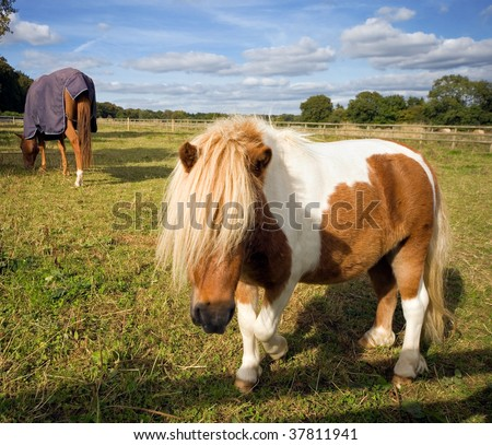 Related Pictures shetland pony horses in the south a horse blog