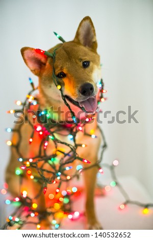 a shiba inu dog is wrapped in Christmas lights - stock photo