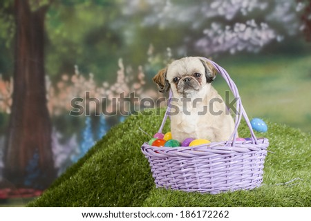 A shih tzu dog sits in a purple Easter basket filled with colorful Easter eggs