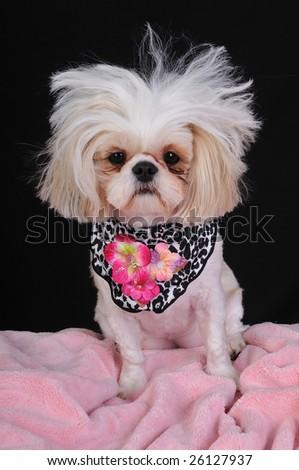 A Shih Tzu Dog with wild hair, having a bad hair day. - stock photo
