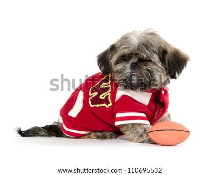 A Shih Tzu puppy wearing a letterman's jacket on white background - stock photo