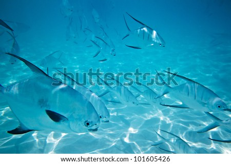 A shoal of fishes in Caribbean Sea, Mexico