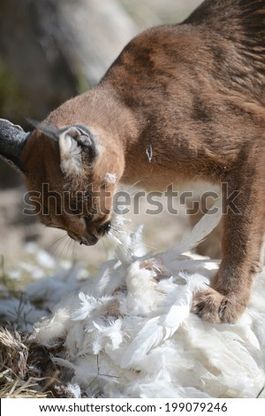 A shot of a African Lynx in the wild - stock photo