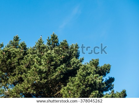 A shot of a magpie sitting in a tall pine tree against a blue sky. - stock photo