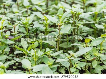 A shot of a mass of antirrhinum seedlings. - stock photo