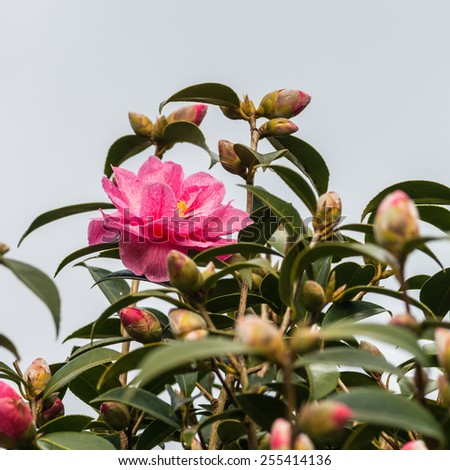 A shot of a pink camellia bloom surrounded by flower buds. - stock photo