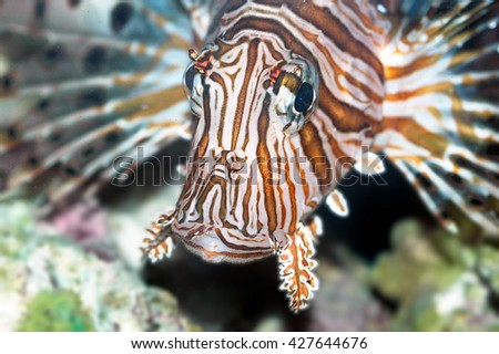 A shot of a specimen of lionfish or butterfly-cod fish