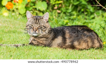 A shot of a tabby cat lying on a green lawn.