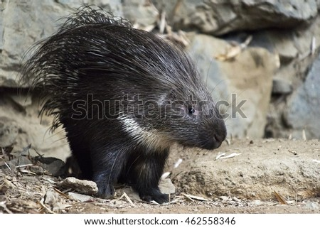 A shot of a young porcupine
