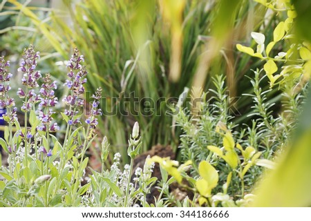 A shot of English herb garden with sage in focus, along with thyme, lemongrass, rosemary and lemon tree.