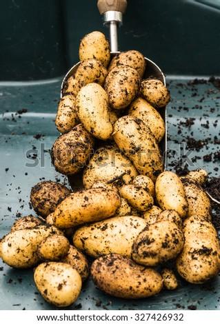 A shot of some freshly dug charlotte potatoes sitting on a trowel. - stock photo