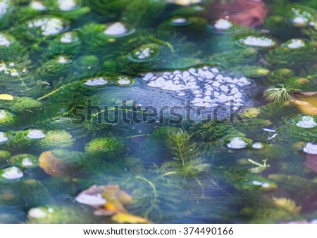 A shot of some frogspawn developing at the surface of a garden pond. - stock photo