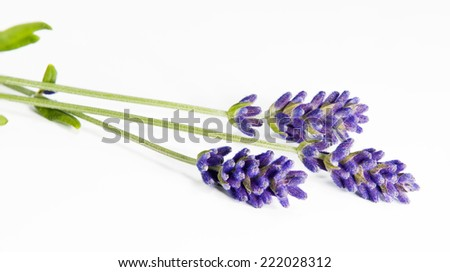 A shot of three sprigs of lavender on the white background - stock photo