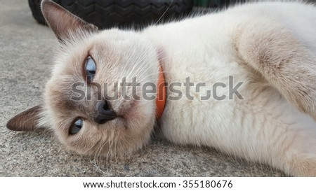 a siames cat lay down on the cement floor.