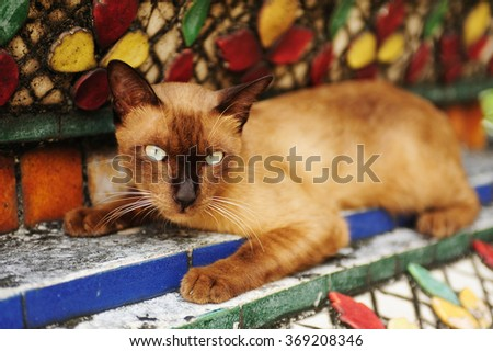A siamese cat in a Thailand tample. - stock photo