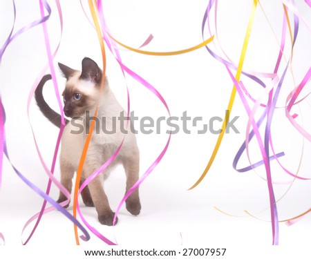 A siamese kitten plays with long colorful streamers on a white background - stock photo