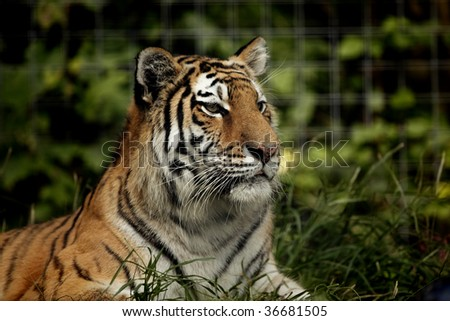 A Siberain Tiger looking off into the distance. - stock photo