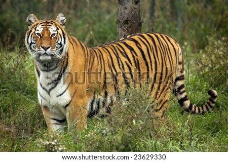 A Siberian (Amur) tiger standing in grass - stock photo