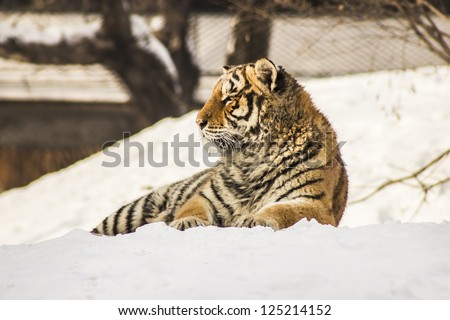 A Siberian Tiger lying in the snow at the Siberian Tiger Reserve in Harbin China - stock photo