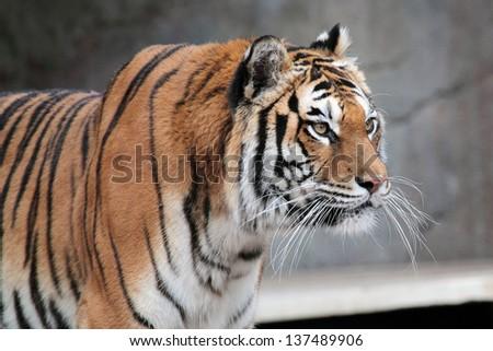 A Siberian tiger (Panthera tigris altaica) staring at something - stock photo
